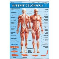 PlanszaVISUAL SYSTEM - Układ mięśniowy