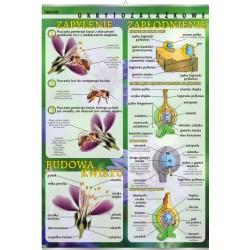 PlanszaVISUAL SYSTEM - Budowa kwiatu, zapylenie, zapłodnienie (okrytozalążkowe)