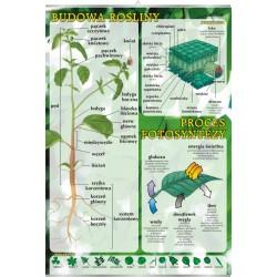 PlanszaBudowa rośliny, proces fotosyntezy