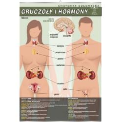 PlanszaVISUAL SYSTEM - Gruczoły i hormony