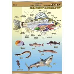 Plansza VISUAL SYSTEM - Ryby - budowa anatomiczna