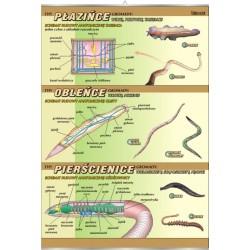 Plansza VISUAL SYSTEM - Płazińce, obleńce, pierścienice - budowa anatomiczna
