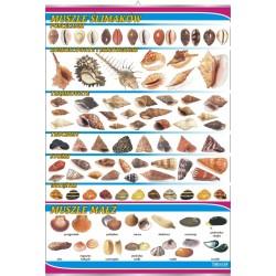 PlanszaVISUAL SYSTEM - Muszle ślimaków i małż