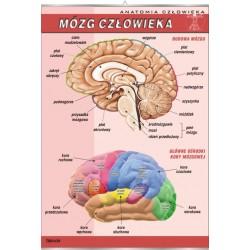 PlanszaVISUAL SYSTEM - Mózg czlowieka
